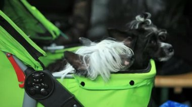 Chinese Crested Dog — Stock Video