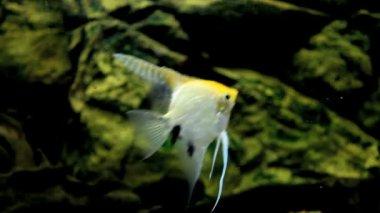 Angelfish — Stock Video #12622260