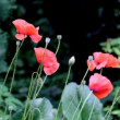 Opium poppy — Stock Video