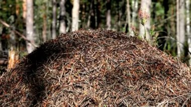 Large forest ant — Wideo stockowe