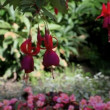 Stock Video: Flowers fuchsia