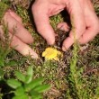 Stock Video: Picking Chanterelles