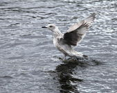 Seagull the flying — ストック写真