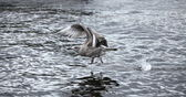 Gray seagull the flying — Stock Photo