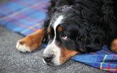 Big dog St. Bernard dog — Stock Photo
