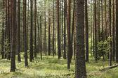 Borový les — Stock fotografie