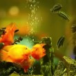 Aquarium fish — Stock Video