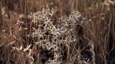 Thorn tumbleweed field — Stock Video