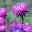 Bright flowers asters — Stock Video #44545667