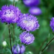 Flowers asters — Stock Video #44950113
