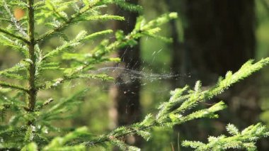 Weightless cobweb in forest — Stock Video