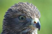 The hawk creeps — Stock Photo