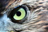 Small hawk eye — Stock Photo