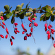 Ripe berries of barberry — Stock Photo