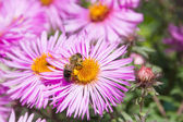 Bee pollinating flower — Stock Photo