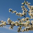 Cherry blossoms — Stock Photo #22834634