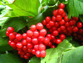 Clusters of a red ripe guelder-rose — Stockfoto