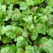 Green bed of the fresh beet - Stock Photo