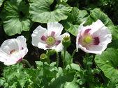 Den vackra tre blommor av en vallmo — Stockfoto