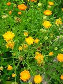 黄色金盏花朵美丽的花 — 图库照片