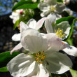 Stock Photo: Flower of apple-tree