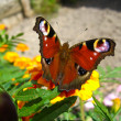 Stock Photo: Butterfly of peacock eye on flower