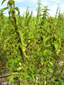 Cruel nettle — Stock Photo