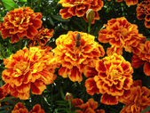 マリーゴールドの美しい花 — ストック写真