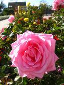 Eine schöne blume rosa rose — Stockfoto