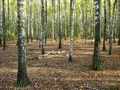 Birchwood en été — Photo