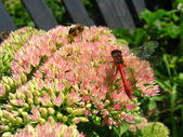Dragonfly and bee sitting on the flowers — Stock Photo