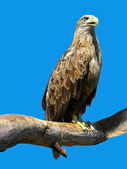 Eagle sitting on a branch — Stock Photo