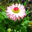 Beautiful pink flower of a daisy — Stock Photo #14031550