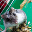 Small grey and nice hamster — Stockfoto