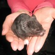 Small black and nice hamster in the hands — Stock Photo
