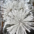 Needles of a pine in hoarfrost — Stock Photo