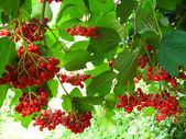 Clusters of a red ripe guelder-rose — Stock Photo