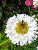 La mosca en el aster blanco — Foto de Stock
