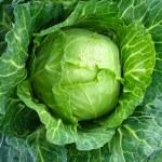 Big head of cabbage — Stock Photo