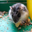 Stock Photo: Small grey and nice hamster