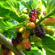 Stock Photo: Branch of ripe mulberry