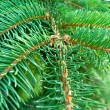 Green branches of a young fur-tree — Foto de stock #15314429