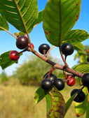 Branch with the wolf berries — Stock Photo