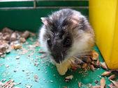Small grey and nice hamster — Stock Photo