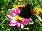 優雅な蝶のアスターに孔雀の目の — ストック写真