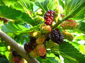 Branch of ripe mulberry — Stock Photo