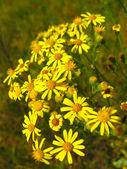 Yellow beautiful flowers of St.-John — Stock Photo