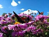 Mariposas agraciadas del ojo del pavo real en el aster — Foto de Stock