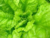 Green leaves of useful lettuce — Stock Photo