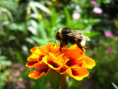The bumblebee on the tagetes — 图库照片